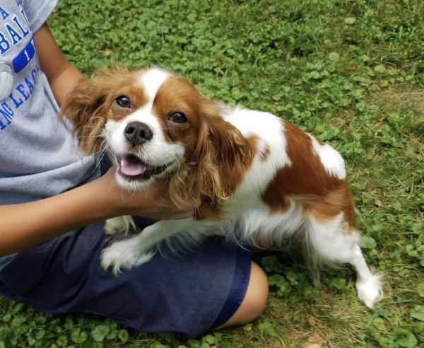 Indy - King Charles Cavalier